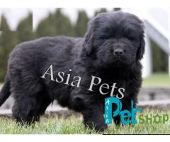 Newfoundland puppy price in Rajkot, Newfoundland puppy for sale in Rajkot