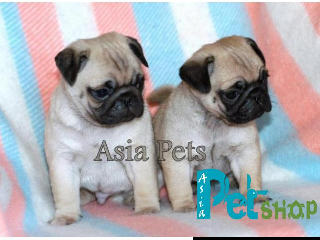 Pug Puppy Price In Rajkot Pug Puppy For Sale In Rajkot