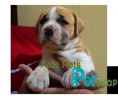 Pitbull puppy price in Rajkot, Pitbull puppy for sale in Rajkot