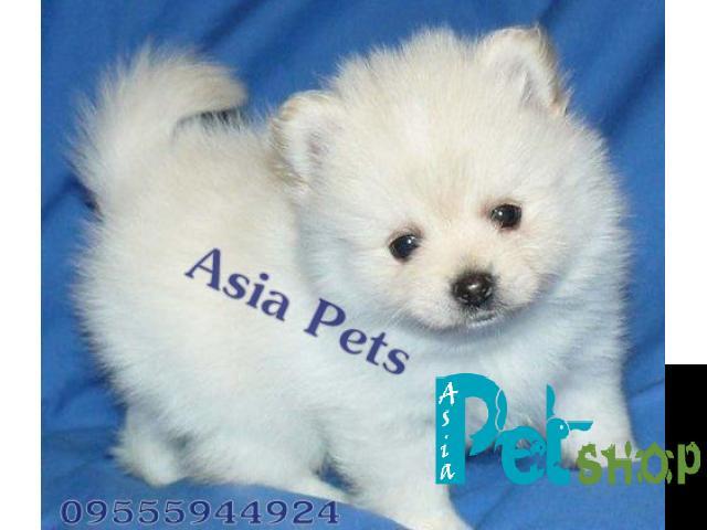 Pomeranian Puppy Price In Rajkot Pomeranian Puppy For Sale In Rajkot