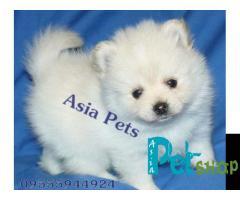 Pomeranian puppy price in Rajkot, Pomeranian puppy for sale in Rajkot