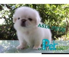 Pekingese puppy price in Rajkot, Pekingese puppy for sale in Rajkot