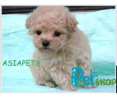 Poodle puppy price in Rajkot, Poodle puppy for sale in Rajkot