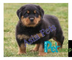 Rottweiler puppy price in Rajkot, Rottweiler puppy for sale in Rajkot