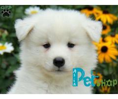 Samoyed puppy price in Rajkot, Samoyed puppy for sale in Rajkot
