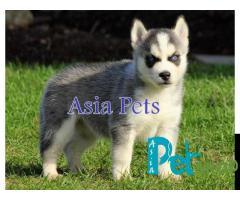 Siberian husky puppy price in Rajkot, Siberian husky puppy for sale in Rajkot