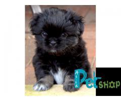 Tibetan spaniel puppy price in Rajkot, Tibetan spaniel puppy for sale in Rajkot