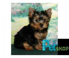 Yorkshire terrier puppy price in Rajkot, Yorkshire terrier puppy for sale in Rajkot