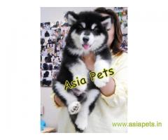 Alaskan malamute puppy price in Secunderabad, Alaskan malamute puppy for sale in Secunderabad