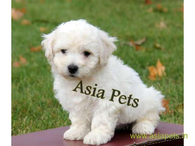 Bichon frise puppy price in Secunderabad, Bichon frise puppy for sale in Secunderabad