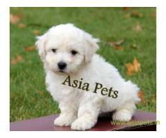 Bichon frise puppy price in Secunderabad, Bichon frise puppy for sale in Secunderabad