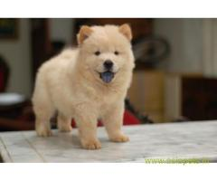 Chow chow puppy price in Secunderabad, Chow chow puppy for sale in Secunderabad