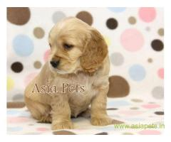 Cocker spaniel puppy price in Secunderabad, Cocker spaniel puppy for sale in Secunderabad