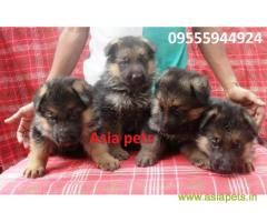 German Shepherd puppy price in Secunderabad, German Shepherd puppy for sale in Secunderabad