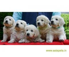 Golden retriever puppy for sale in Secunderabad, Golden retriever puppy for sale in Secunderabad