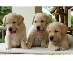 Labrador puppy price in Secunderabad, Labrador puppy for sale in Secunderabad