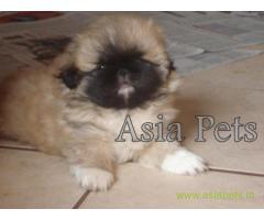 Pekingese puppy price in Secunderabad, Pekingese puppy for sale in Secunderabad
