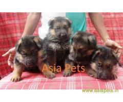 German shepherd puppies for sale in India, German shepherd puppy price in India