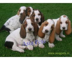 Basset hound puppy price in Surat, Basset hound puppy for sale in Surat