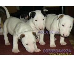 Bullterrier puppy price in Surat, Bullterrier puppy for sale in Surat