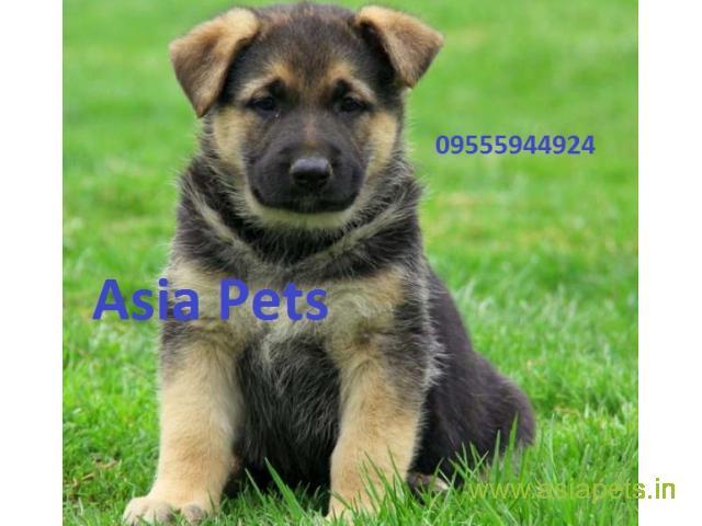 German Shepherd puppy price in Surat, German Shepherd puppy for sale in Surat