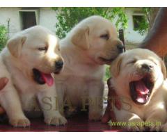 Labrador puppy price in Surat, Labrador puppy for sale in Surat