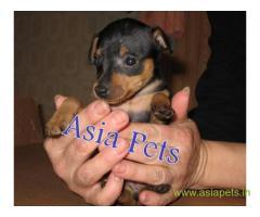 Miniature pinscher puppy price in Surat, Miniature pinscher puppy for sale in Surat