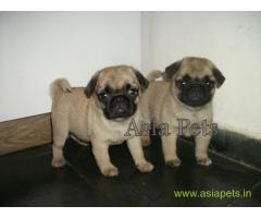 Pug puppy price in Surat, Pug puppy for sale in Surat
