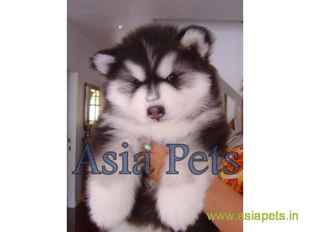 Alaskan malamute puppy price in Vijayawada, Alaskan malamute puppy for sale in Vijayawada