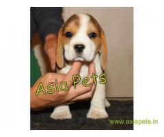 Beagle puppy price in Vijayawada, Beagle puppy for sale in Vijayawada