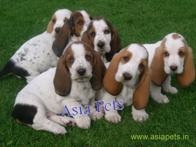 Basset hound puppy price in Vijayawada, Basset hound puppy for sale in Vijayawada