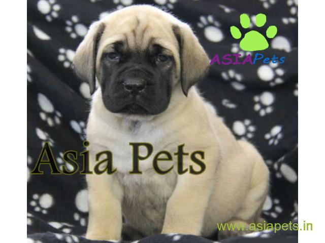 English Mastiff puppy price in Vijayawada, English Mastiff puppy for sale in Vijayawada