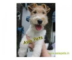 Fox Terrier puppy price in Vijayawada, Fox Terrier puppy for sale in Vijayawada