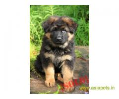 German Shepherd puppy price in Vijayawada, German Shepherd puppy for sale in Vijayawada