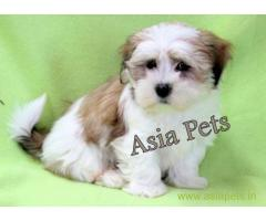 Lhasa apso puppy price in Vijayawada, Lhasa apso puppy for sale in Vijayawada