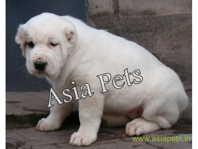 Alabai puppy price in patna, Alabai puppy for sale in patna