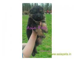 German Shepherd puppy price in patna, German Shepherd puppy for sale in patna
