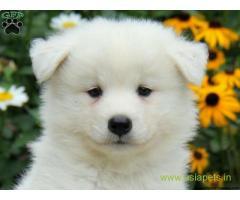 Samoyed puppy price in Vijayawada, Samoyed puppy for sale in Vijayawada