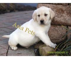 Labrador puppy price in vadodara, Labrador puppy for sale in vadodara