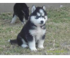 Siberian husky pups price in vizan, Siberian husky pups for sale in vizan