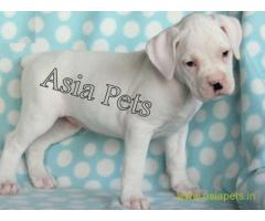 Boxer pups price in Vijayawada, Boxer pups for sale in Vijayawada