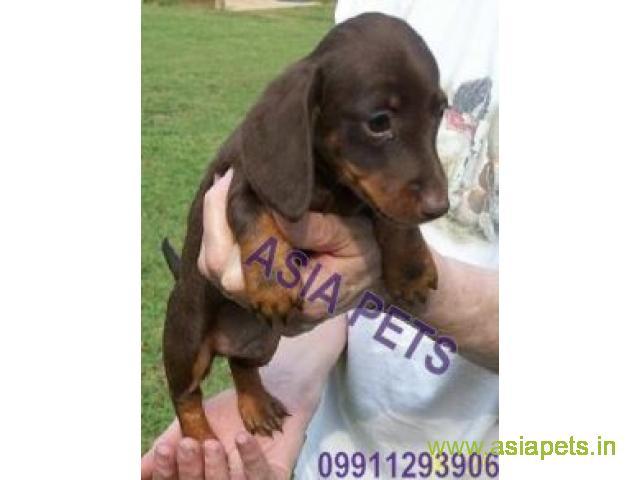 Dachshund pups price in Vijayawada, Dachshund pups for sale in Vijayawada