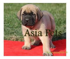 English Mastiff pups price in Vijayawada, English Mastiff pups for sale in Vijayawada