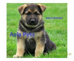 German Shepherd pups price in Vijayawada, German Shepherd pups for sale in Vijayawada