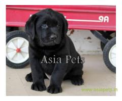 Labrador pups price in Vijayawada, Labrador pups for sale in Vijayawada