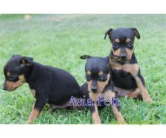 Miniature pinscher pups price in Vijayawada, Miniature pinscher pups for sale in Vijayawada