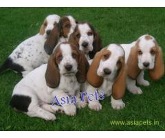 Basset hound puppy price in Thiruvananthapurram, Basset hound puppy for sale in Thiruvananthapurram