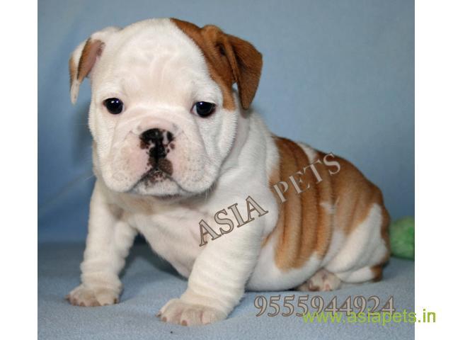 Bulldog puppy price in thane, Bulldog puppy for sale in thane