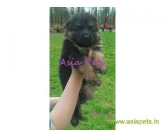 German Shepherd puppy price in thane, German Shepherd puppy for sale in thane