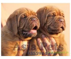 French Mastiff pups price in Thiruvananthapurram, French Mastiff pups for sale in Thiruvananthapurra